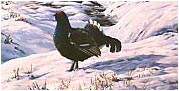 Black grouse pictures - paintings of black game