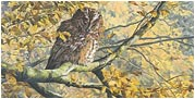 Owl pictures - tawny owl painting