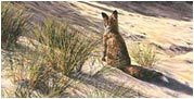 Red fox paintings - pictures of Vulpes vulpes