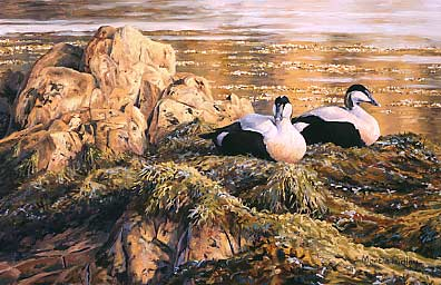 Wildlife Art : Eiders, oils by Martin Ridley