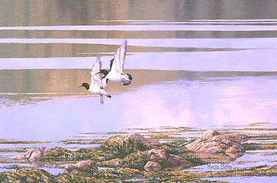 Wildlife Art : Oystercatchers by Martin Ridley