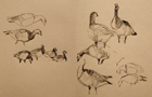 sketches of barnacle geese