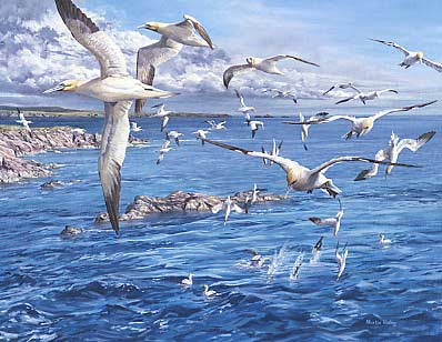 wildlife art paintings: A painting of gannets circling above a shoal of fish by wildlife artist Martin Ridley