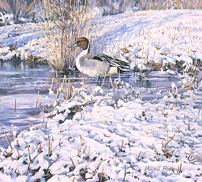 Wildfowl Paintings: Drake pintail by Martin Ridley