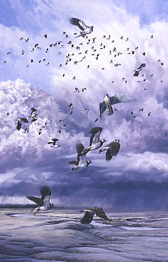 Wildlife Art : Peregrine falcon, Falco peregrinus stooping at lapwing