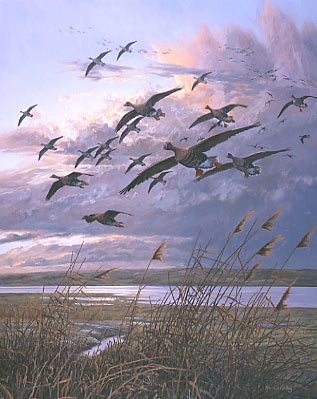 Painting of a flight of white-fronted geese dropping in, wildlife art
