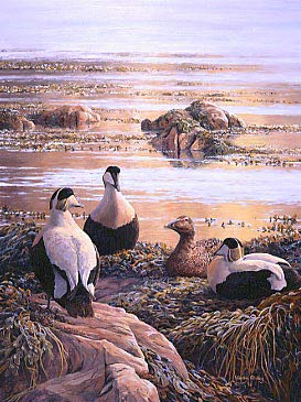 Wildlife paintings: Eiders, WWT magazine cover design  by Martin Ridley