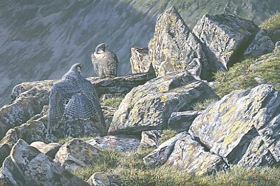 A painting of two Lake District peregrine falcons, Falco peregrinus
