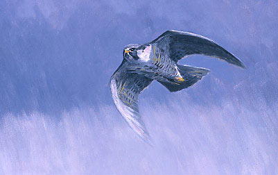 Wildlife Art : Painting of a peregrine falcon, Falco peregrinus by Martin Ridley