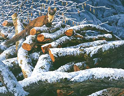 An oil painting of a pine marten in a woodpile by wildlife artist Martin Ridley