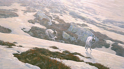 A painting of mountain hares chasing over the snow by wildlife artist Martin Ridley