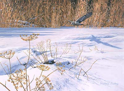 Wildlife Painting: Short-eared owl, Asio flammeus