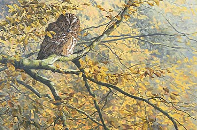 Picture of a Tawny owl, Strix aluco by Martin Ridley