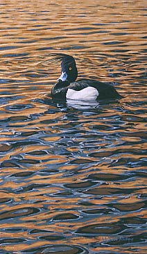 Wildfowl Painting: Tufted duck by Martin Ridley