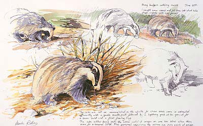 Sketches of badgers hunting for worms by wildlife artist Martin Ridley