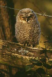 Picture of young tawny owl, Strix aluco