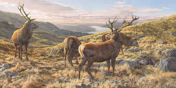 Red Deer Stags Print - Herd of red deer on the slopes of Ben Resipole above Loch Sunart