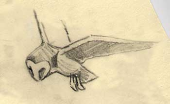 Barn owl pictures - A sketch of a barn owl in flight bu Martin Ridley
