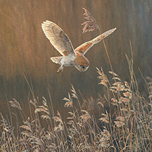 Barn owl in flight - Wildlife art canvas print