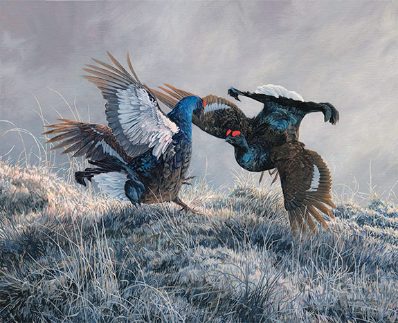 Original oil painting of  fighting black grouse at a lek