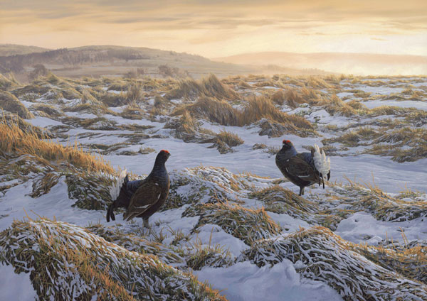 Original oil painting of displaying black grouse at the lek - Gamebird painting