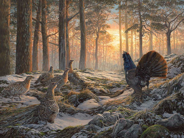 Original oil painting of displaying capercaillie and grey hens at the lek - Gamebird painting