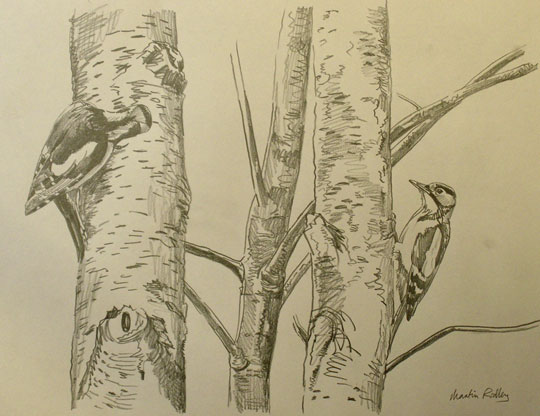Great spotted woodpecker drawings