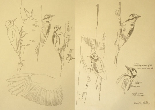 Great spotted woodpecker drawings by Martin Ridley