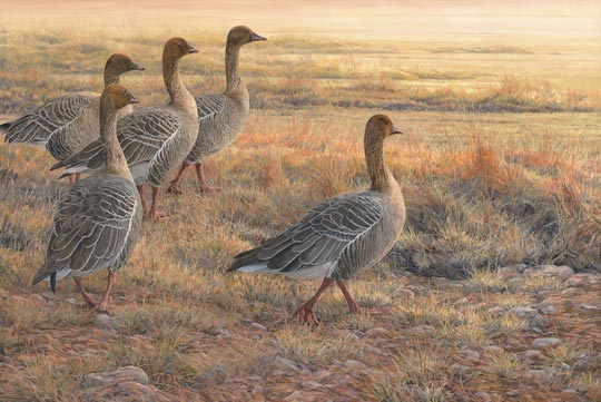 Pictures of pink-footed geese - original oil painting by wildlife artist Martin Ridley