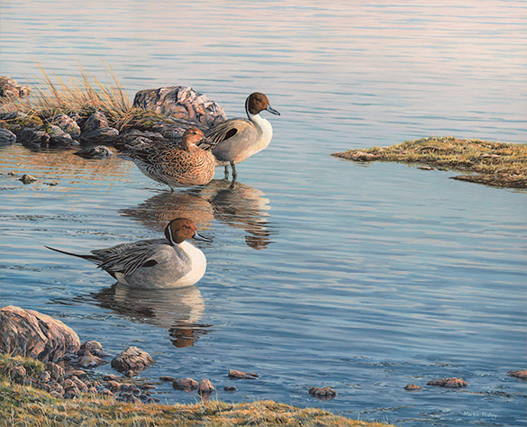 Original oil painting of  resting Pintail Ducks - Wildfowl Art