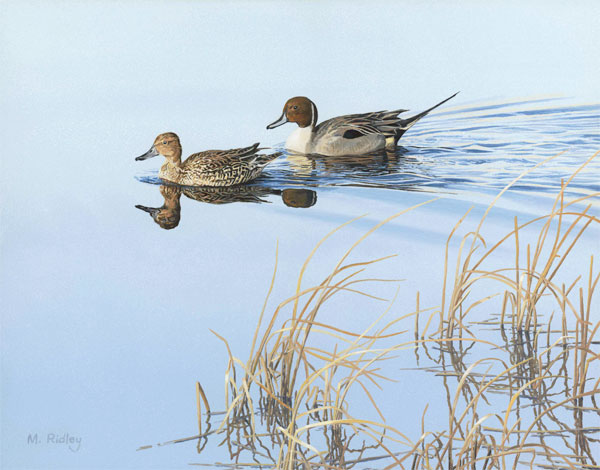 oil painting of a pair of pintail ducks by Martin Ridley