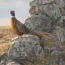 Ring-necked Pheasant - Original Oil Painting