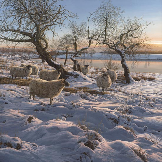 Winter Snow Scene: Flock of black-faced ewes on the banks of the Spey river near Nethybridge