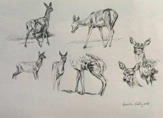 Red deer calf sketches