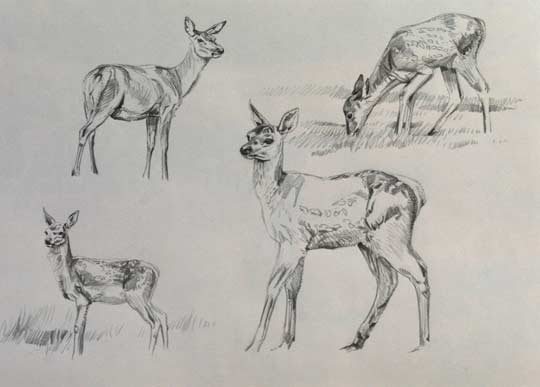 Red deer calf drawings