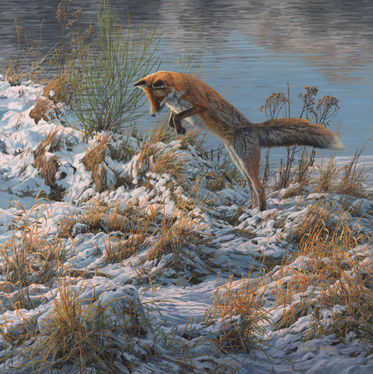 Red fox pounce - picture by Martin Ridley